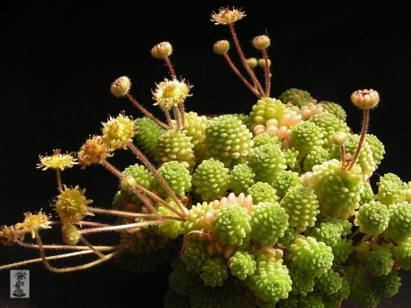 http://www.sukulenty-sps.cz/img/mid/917/monanthes-polyphylla.jpg