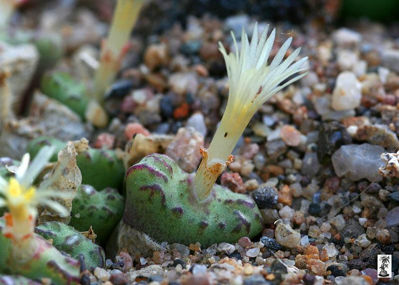 Conophytum obcordellum ssp. rolfii, CR 1004, 6km S of Elands