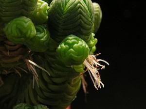 Vzdušné kořeny na stoncích Crassula pyramidalis