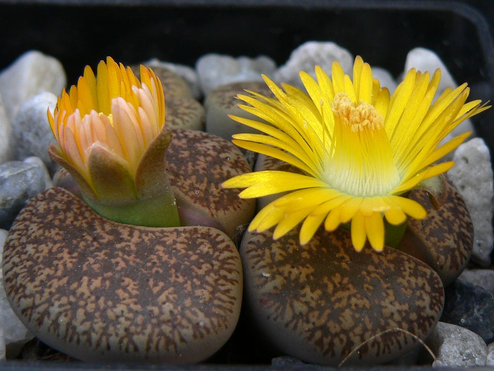 Lithops lesliei 'Kimberly form', C 14